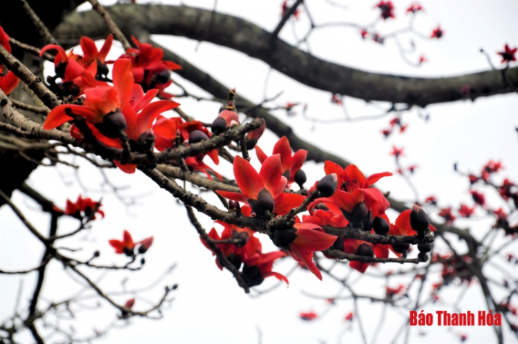 Hoa gạo nở đỏ rực trước sân đền hàng trăm năm tuổi ở Sầm Sơn